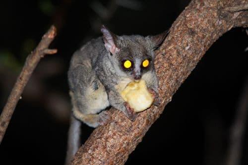 night monkey 1422082 1280 1
