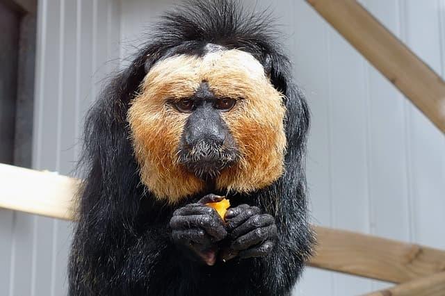 saki monkey 3301667 640 1