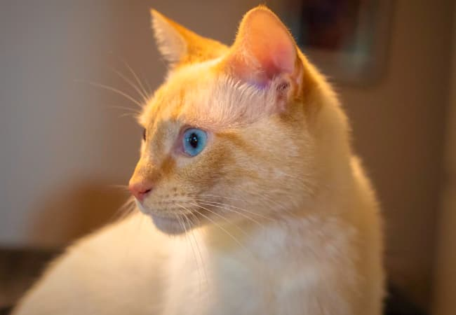 Fluffy flame point Siamese Cats