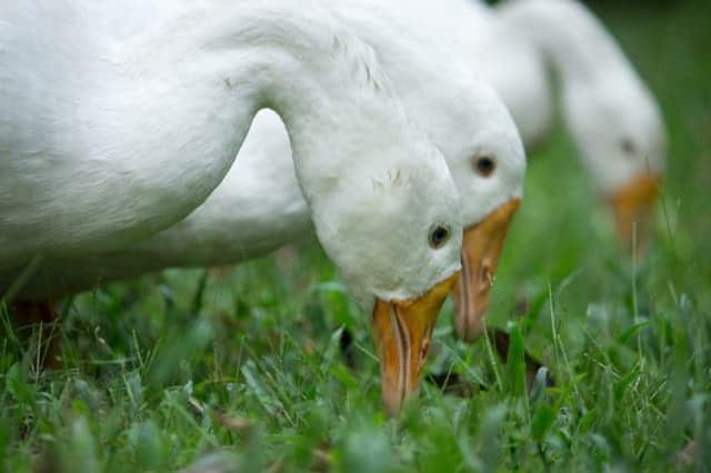 How To Tell Male And Female Geese Apart